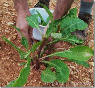 """Harvesting Pokeweed"" Copyright 2008 Jill Henderson"