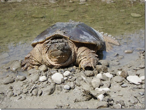800px-Snapping_turtle_Chelydra_serpentina