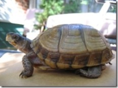 Three-toed_Box_Turtle