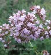 Oregano flowers are flavorful and medicinal.