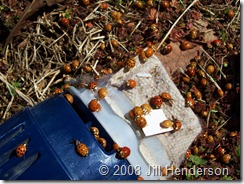 2008-3 - Invasion of the ladybugs (3)