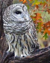 Barred Owl in the Rain