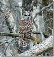 barrred-owl