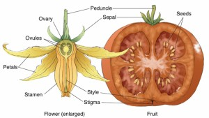 tomato-flower-fruit