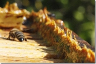 800px-Propolis_in_beehives