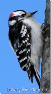 http://commons.wikimedia.org/wiki/File:MaleDownywoodpecker.jpg