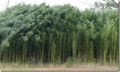 Golden Bamboo (Phyllostachys aurea)