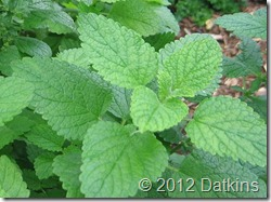 Lemon Balm_crop