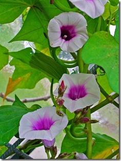 Ipomoea batatas flowers