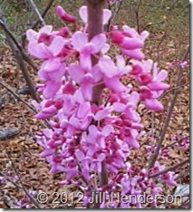Redbud blossoms Jill Henderson
