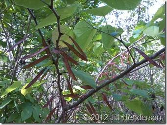 Redbud Pods © 2012 Jill Henderson
