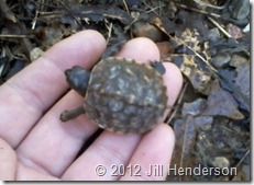 2012 4-4 Box Turtle Hatchling (2)sm