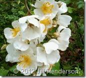 Multiflora roses copyright Jill Henderson