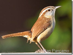 Carolina Wren - Dan Pancamo - Wikimedia Commons