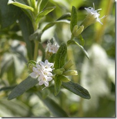 http://upload.wikimedia.org/wikipedia/commons/thumb/2/26/Stevia_rebaudiana_flowers.jpg/589px-Stevia_rebaudiana_flowers.jpg