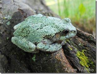 Gray Tree Frog - Agape Yojimbo - Wikimedia Commons