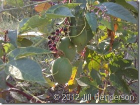 Pokeweed and Passionfruit copyright Jill Henderson