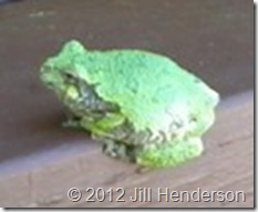 Gray Treefrog - Copyright 2012 Jill Henderson (2)