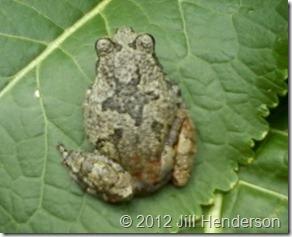 Gray Treefrog - Copyright 2012 Jill Henderson (3)
