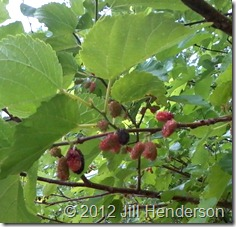 Red Mulberry - Copyright 2012 Jill Henderson