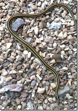 Ribbon Snake - Copyright 2012 Jill Henderson