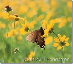 Butterfly on coreopsis. Copyright Jill Henderson - Show Me Oz