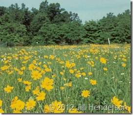 Coreopsis and daisies spring up after a burn.