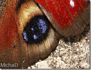 640px-Inachis_io_top_detail_MichaD