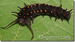 640px-Pipevine_Swallowtail_larva,_Megan_McCarty52