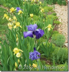 2008 Found irises get a new lease on life.  © 2012 Jill Henderson