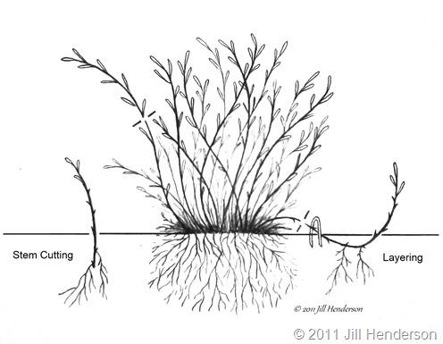 Layering and stem cuttings.  Copyright Jill Henderson