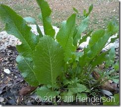 Horseradish ready to harvest. Copyright Jill Henderson