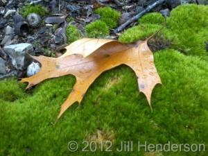 Leaf & Moss - copyright Jill Henderson