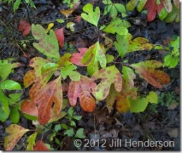 Sassafras Leaves - Copyright Jill Henderson