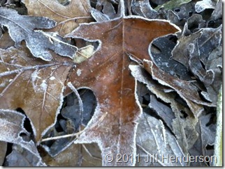 Frosty Leaves - Copyright Jill Henderson