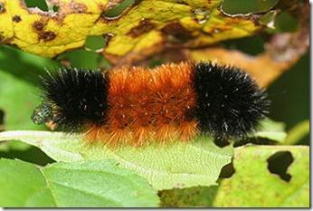 320px-IC_Pyrrharctia_isabella_caterpillar
