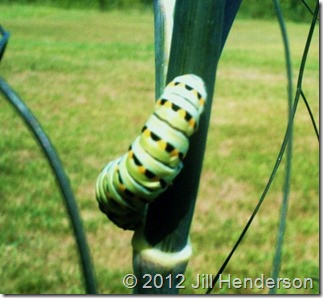 Black Swallowtail caterpillar - Copyright Jill Henderson