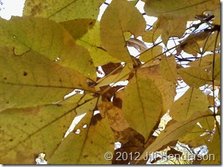 Fall Hickory Leaves  - Copyright Jill Hendersonsm