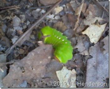 Luna Moth caterpillar -  - Copyright Jill Henderson