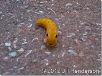 Spicebush Swallowtail caterpillar - Copyright Jill Henderson