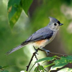 Tufted Titmouse by Mike's Birds via Wikimedia Commons