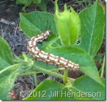 Unknown Caterpillar on Passionfruit Vine - Copyright Jill Henderson
