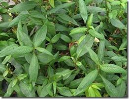 Polygonum odoratum via http://commons.wikimedia.org/wiki/File:Gardenology.org-IMG_7734_qsbg11mar.jpg