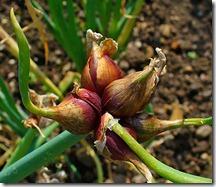 Allium_cepa_viviparum