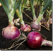 ARS_red_onion