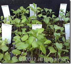 2012 8-29 Seedlings (4)_thumb[7]