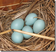 Bluebird eggs are almost always blue.  About 5% are white.   Image via Вasil at the English language Wikipedia [GFDL (https://www.gnu.org/copyleft/fdl.html), CC-BY-SA-3.0 (https://creativecommons.org/licenses/by-sa/3.0/) or GFDL (https://www.gnu.org/copyleft/fdl.html)], from Wikimedia Commons