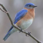 A male Eastern bluebird.. Image by Ken Thomas (KenThomas.us (personal website of photographer)) [Public domain], via Wikimedia Commons;