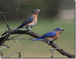 A pair of Eastern Bluebirds.  Image by Sandysphotos2009 (20100415_95  Uploaded by Snowmanradio) [CC-BY-2.0 (http://creativecommons.org/licenses/by/2.0)], via Wikimedia Commons