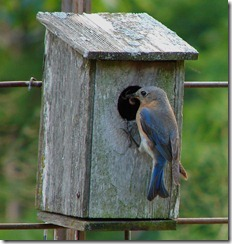 Female Bluebird feeding chicks.  Image by ND Petitt